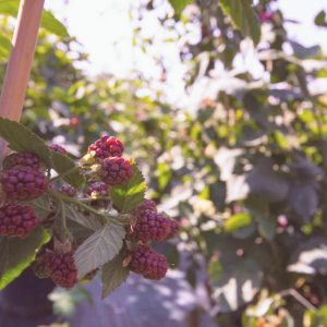 Vendita Piccoli Frutti e Barbatelle