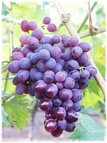 Vite da tavola in vaso 39 lidi 39 vendita barbatelle online - Potatura vite uva da tavola ...