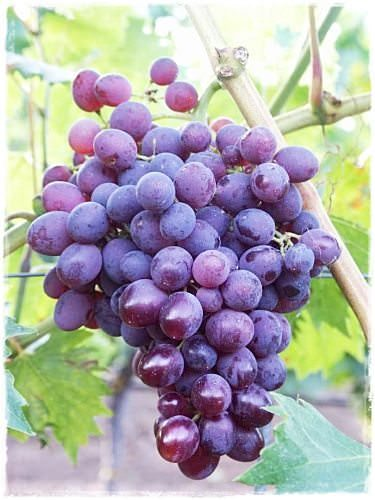 Vite da tavola in vaso 39 lidi 39 vendita barbatelle online - Vivai rauscedo uva da tavola ...